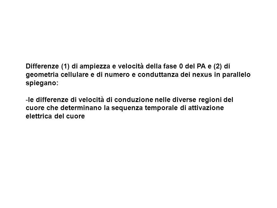 Velocità di conduzione del PA nelle diverse regioni del cuore