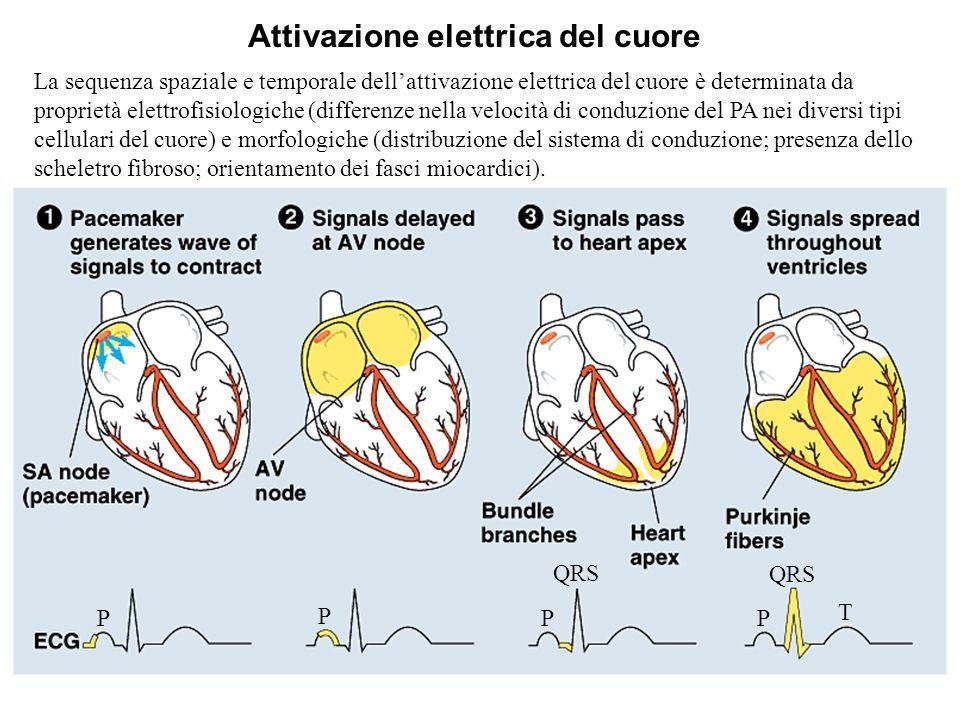Sistema di Conduzione Cardiaco Fascio di Thorel Fascio di Wenckebach Fascio di Bachman Attivazione elettrica degli atri e tratti internodali