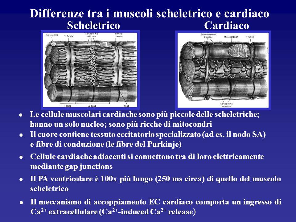 Somiglianze tra laccoppiamento EC nel muscolo scheletrico e nel cuore l I canali del Ca 2+ attivati innescano lapertura dei canali di rilascio del Ca