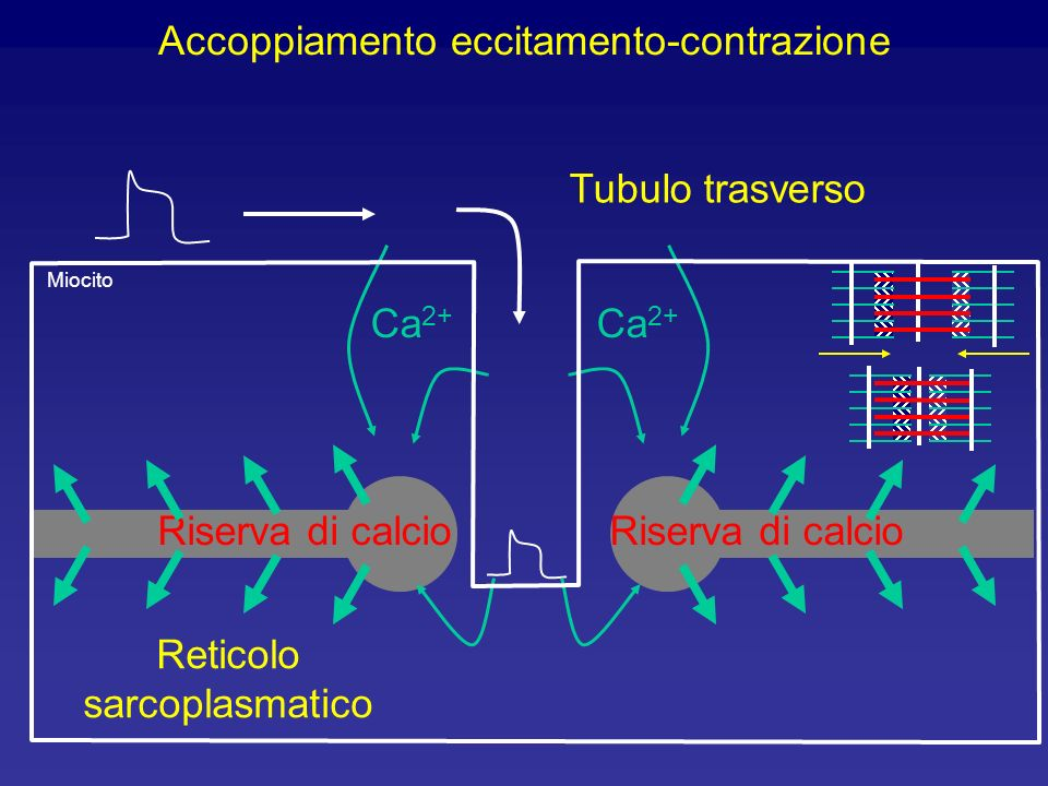 Differenze tra i muscoli scheletrico e cardiaco Scheletrico l Il cuore contiene tessuto eccitatorio specializzato (ad es. il nodo SA) e fibre di condu
