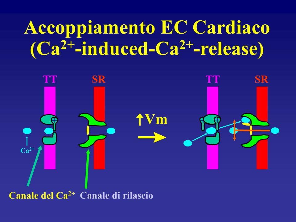 Tubulo trasverso Reticolo sarcoplasmatico Riserva di calcio Ca 2+ Accoppiamento eccitamento-contrazione Miocito