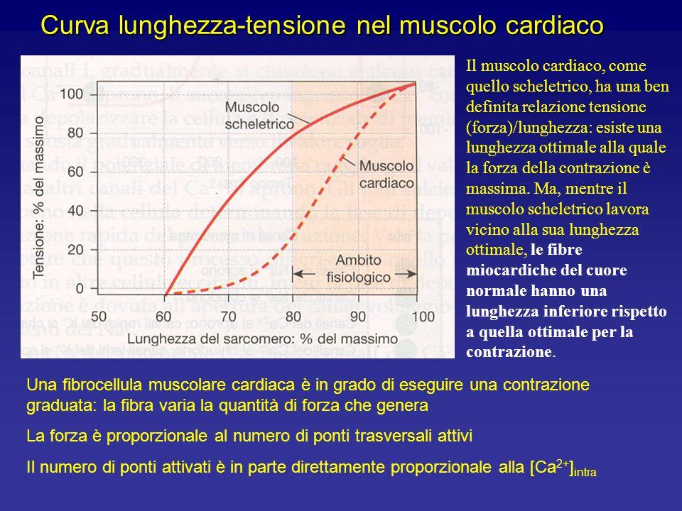 Relazione lunghezza-tensione nella contrazione di un muscolo scheletrico Viene mostrata la tensione generata da un muscolo in relazione alla sua lungh