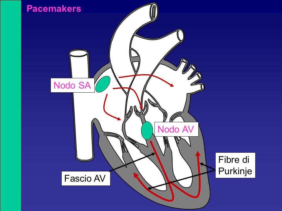 Una fibrocellula muscolare cardiaca è in grado di eseguire una contrazione graduata: la fibra varia la quantità di forza che genera La forza è proporzionale al numero di ponti trasversali attivi Il numero di ponti attivati è in parte direttamente proporzionale alla [Ca 2+ ] intra Curva lunghezza-tensione nel muscolo cardiaco Il muscolo cardiaco, come quello scheletrico, ha una ben definita relazione tensione (forza)/lunghezza: esiste una lunghezza ottimale alla quale la forza della contrazione è massima.
