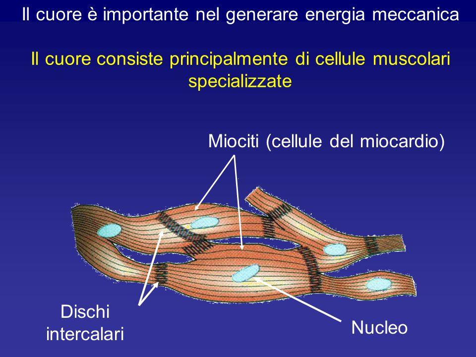 Se una cellula miocardica contrattile è immersa in un liquido simile a quello interstiziale e viene depolarizzata, essa si contrae.