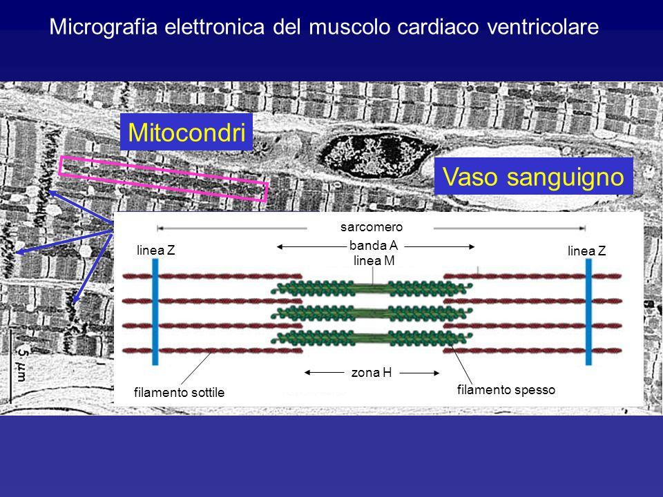 Micrografia elettronica del muscolo cardiaco ventricolare Dischi intercalari Vaso sanguigno Nucleo 5µm Mitocondri sarcomero linea Z linea M filamento sottile filamento spesso zona H banda A