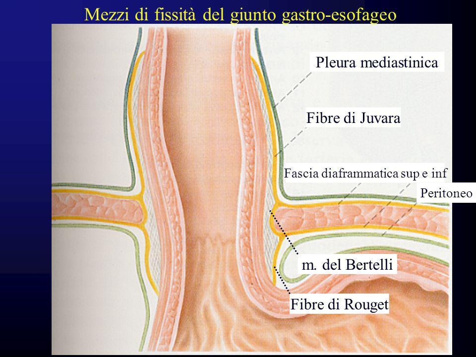 Fibre di Juvara Fibre di Rouget m. del Bertelli Fascia diaframmatica sup e inf Peritoneo Pleura mediastinica Mezzi di fissità del giunto gastro-esofag
