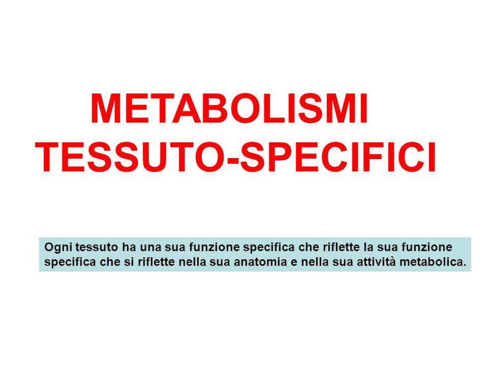 METABOLISMI TESSUTO-SPECIFICI Ogni tessuto ha una sua funzione specifica che riflette la sua funzione specifica che si riflette nella sua anatomia e n