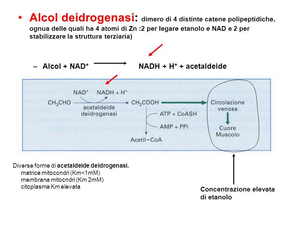 Alcol deidrogenasi: dimero di 4 distinte catene polipeptidiche, ognua delle quali ha 4 atomi di Zn :2 per legare etanolo e NAD e 2 per stabilizzare la