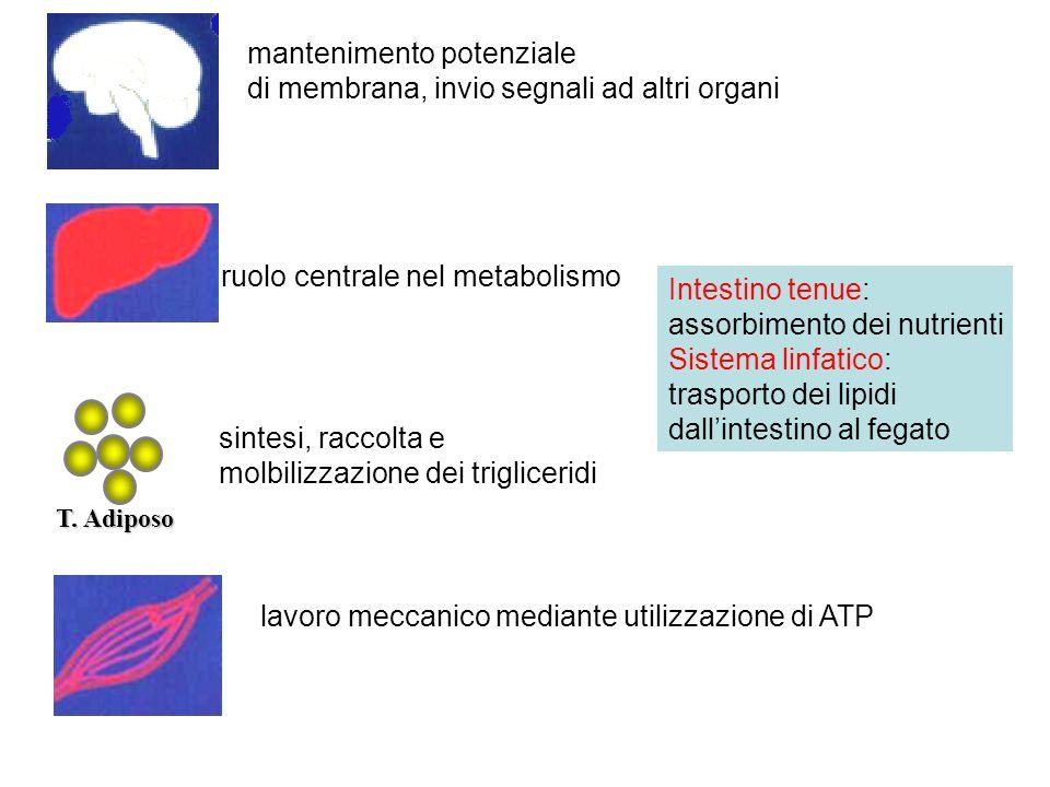 mantenimento potenziale di membrana, invio segnali ad altri organi ruolo centrale nel metabolismo T. Adiposo sintesi, raccolta e molbilizzazione dei t