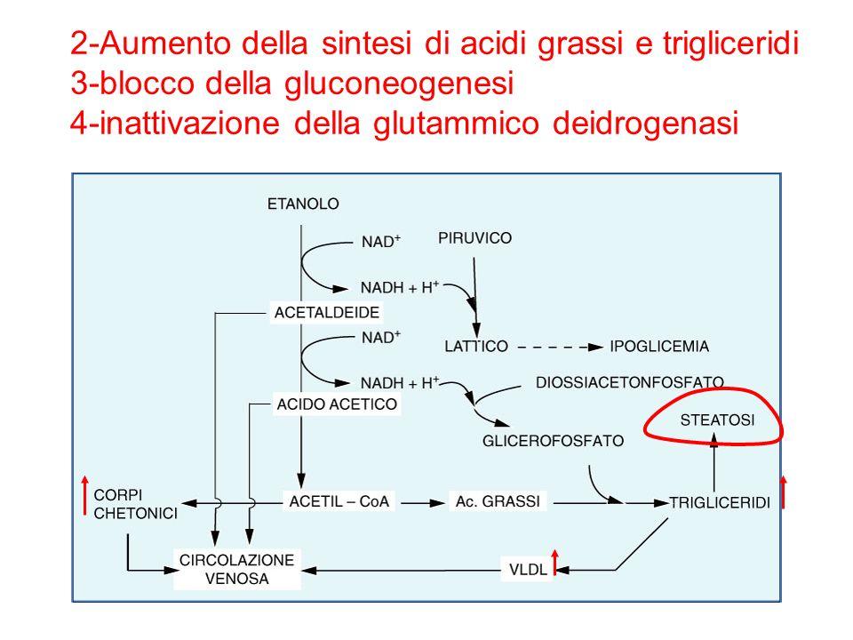 2-Aumento della sintesi di acidi grassi e trigliceridi 3-blocco della gluconeogenesi 4-inattivazione della glutammico deidrogenasi