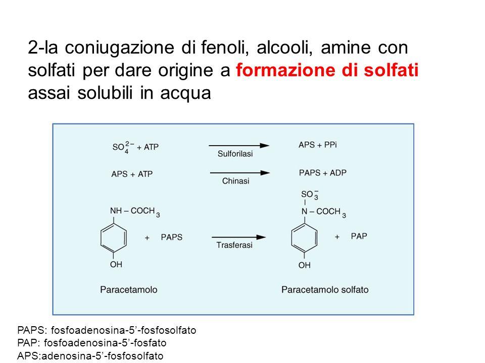 2-la coniugazione di fenoli, alcooli, amine con solfati per dare origine a formazione di solfati assai solubili in acqua PAPS: fosfoadenosina-5-fosfos