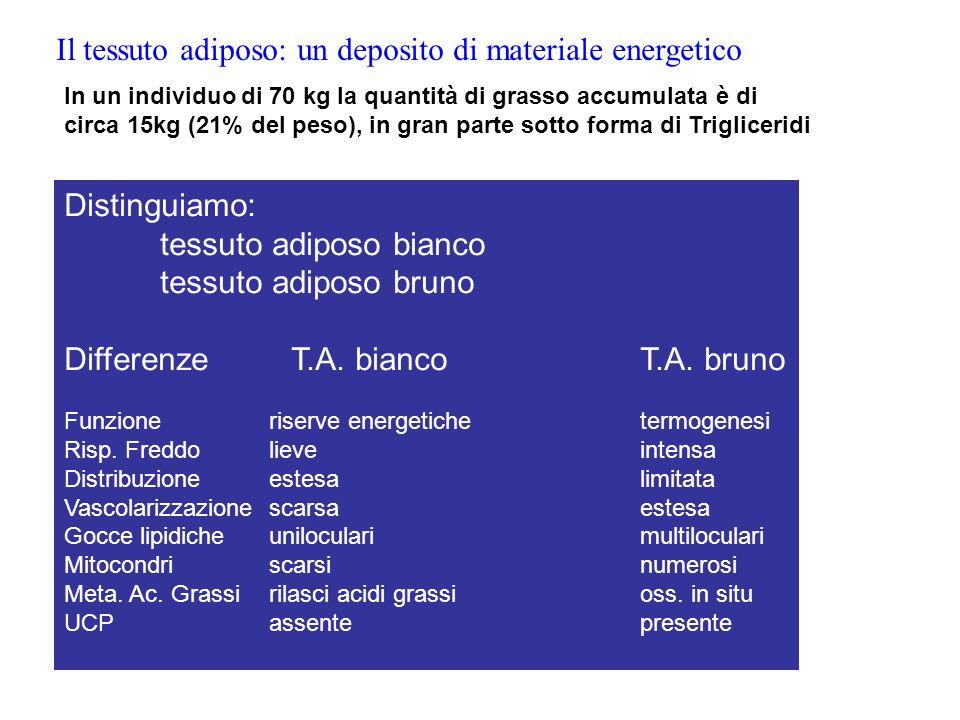 Il tessuto adiposo: un deposito di materiale energetico Distinguiamo: tessuto adiposo bianco tessuto adiposo bruno Differenze T.A. biancoT.A. bruno Fu