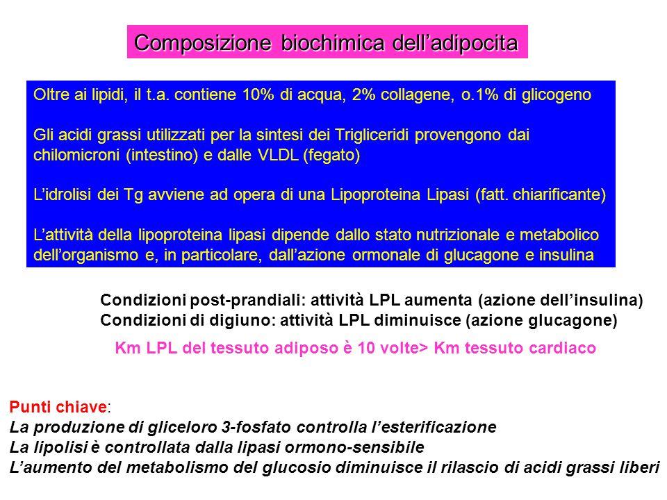 Composizione biochimica delladipocita Oltre ai lipidi, il t.a. contiene 10% di acqua, 2% collagene, o.1% di glicogeno Gli acidi grassi utilizzati per