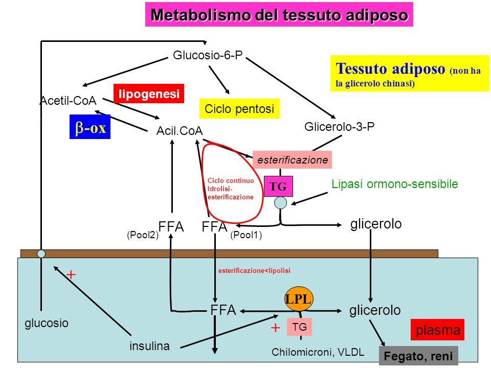 Metabolismo del tessuto adiposo Chilomicroni, VLDL LPL gliceroloFFA glicerolo TG Glicerolo-3-P Acil.CoA Acetil-CoA -ox lipogenesi Glucosio-6-P Ciclo p