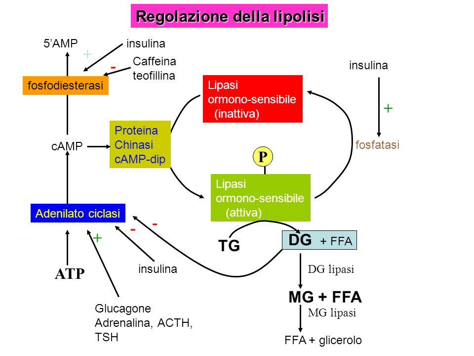 Regolazione della lipolisi Lipasi ormono-sensibile (inattiva) Lipasi ormono-sensibile (attiva) fosfatasi Proteina Chinasi cAMP-dip cAMP Adenilato cicl