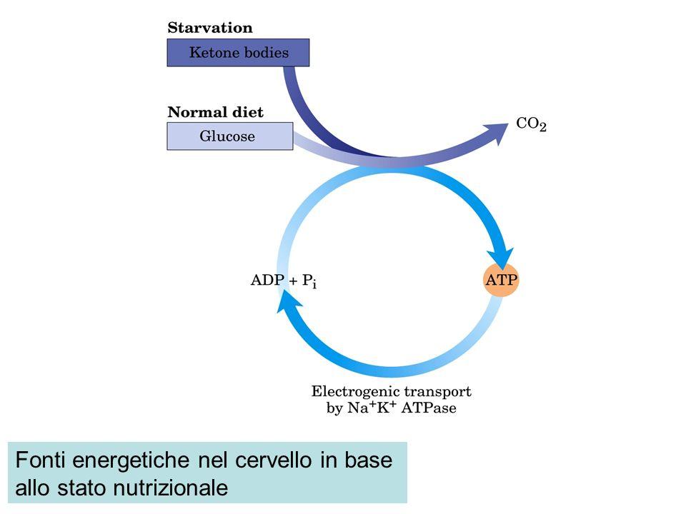 Fonti energetiche nel cervello in base allo stato nutrizionale