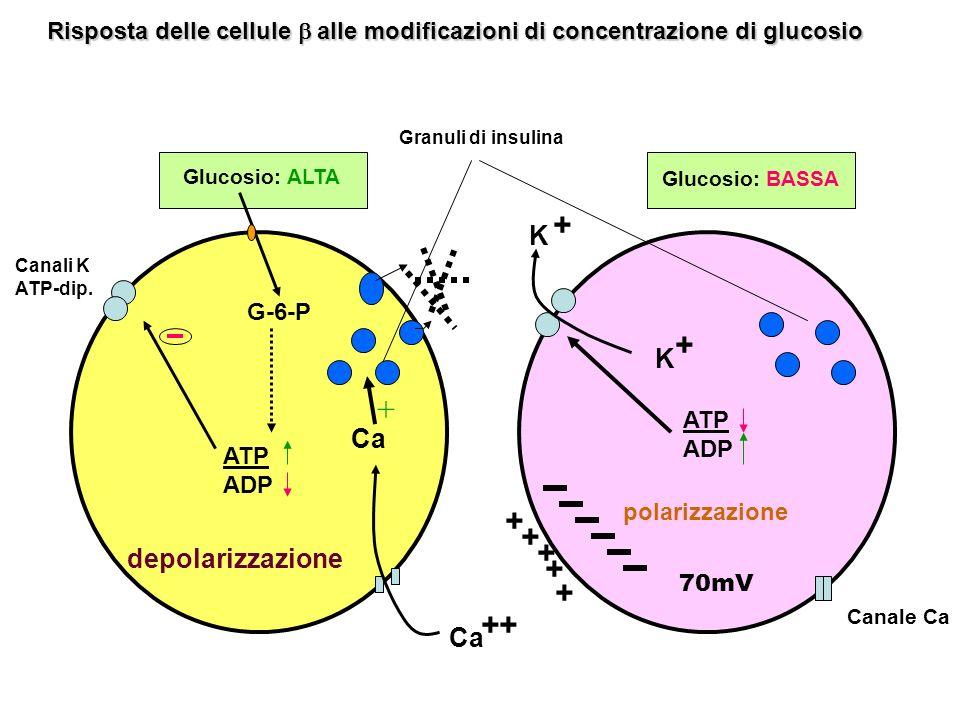 Glucosio: ALTA Glucosio: BASSA G-6-P ATP ADP Ca + ATP ADP K ++ + + K + + + + + polarizzazione depolarizzazione 70mV Canali K ATP-dip. Canale Ca Granul