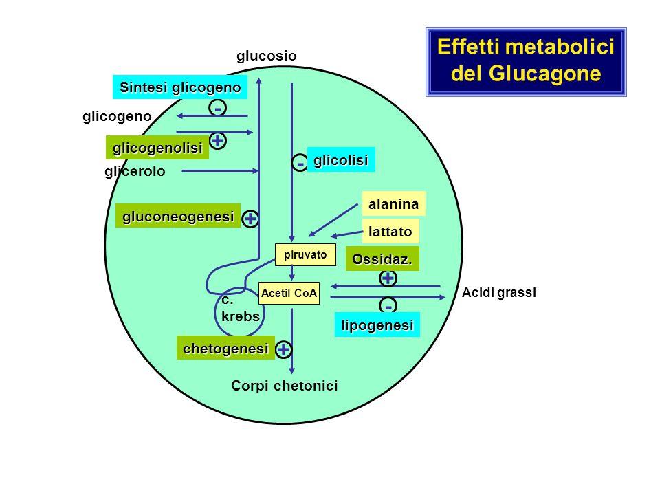 Acetil CoA piruvato + + c. krebs - gluconeogenesi - glicolisi + - lipogenesi Ossidaz. Acidi grassi Corpi chetonici + chetogenesi glicerolo alanina lat