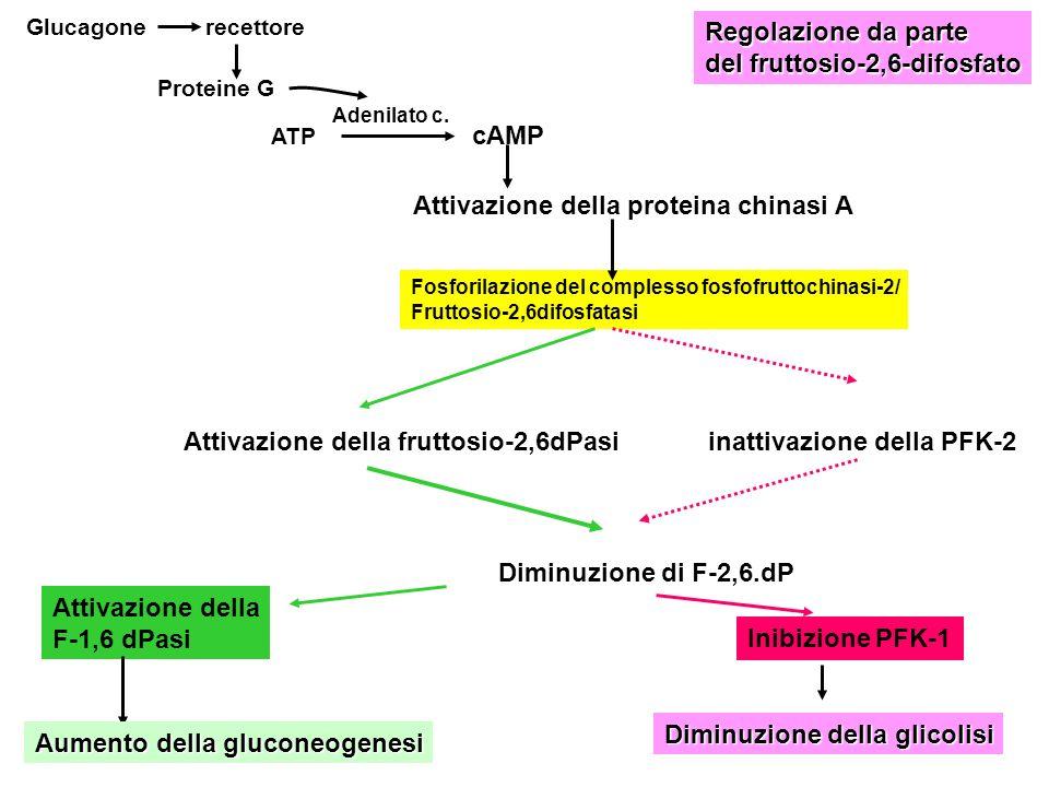 ATP cAMP Attivazione della proteina chinasi A Fosforilazione del complesso fosfofruttochinasi-2/ Fruttosio-2,6difosfatasi Attivazione della fruttosio-
