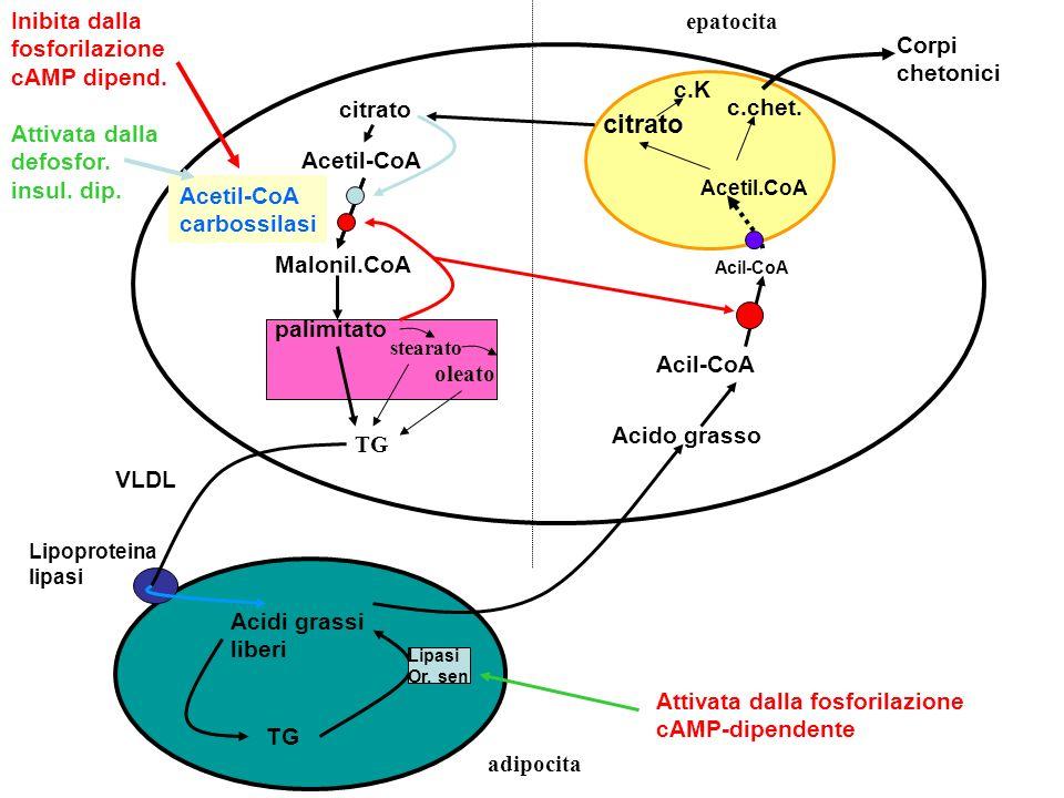 TG Acidi grassi liberi Lipoproteina lipasi Lipasi Or. sen Acido grasso Acil-CoA Acetil.CoA citrato c.chet. citrato Acetil-CoA Malonil.CoA palimitato T