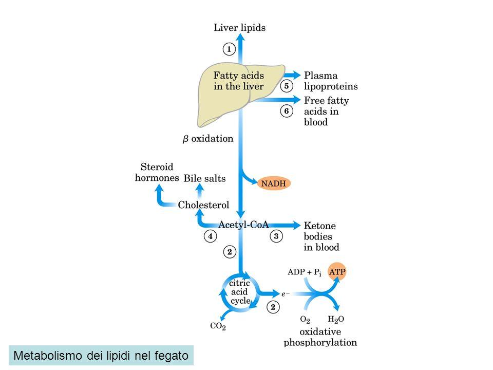 Metabolismo dei lipidi nel fegato