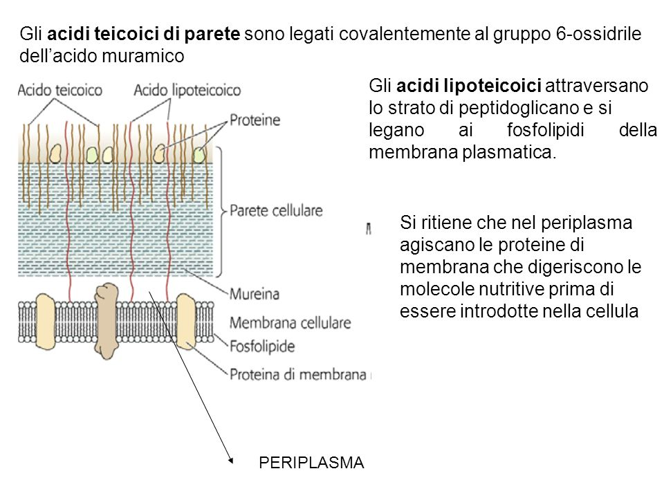 Gli acidi teicoici di parete sono legati covalentemente al gruppo 6-ossidrile dellacido muramico Gli acidi lipoteicoici attraversano lo strato di peptidoglicano e si legano ai fosfolipidi della membrana plasmatica.