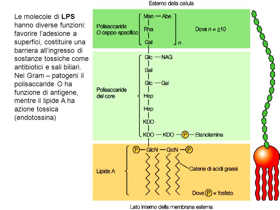 Le molecole di LPS hanno diverse funzioni: favorire ladesione a superfici, costituire una barriera allingresso di sostanze tossiche come antibiotici e sali biliari.