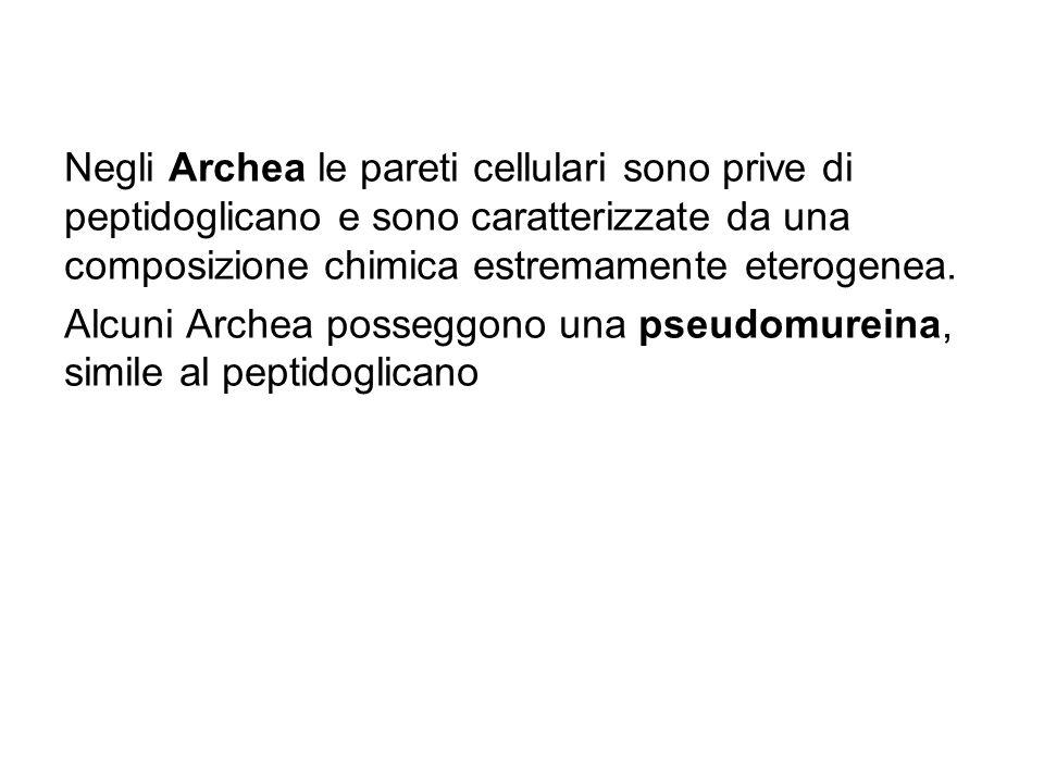 Negli Archea le pareti cellulari sono prive di peptidoglicano e sono caratterizzate da una composizione chimica estremamente eterogenea.