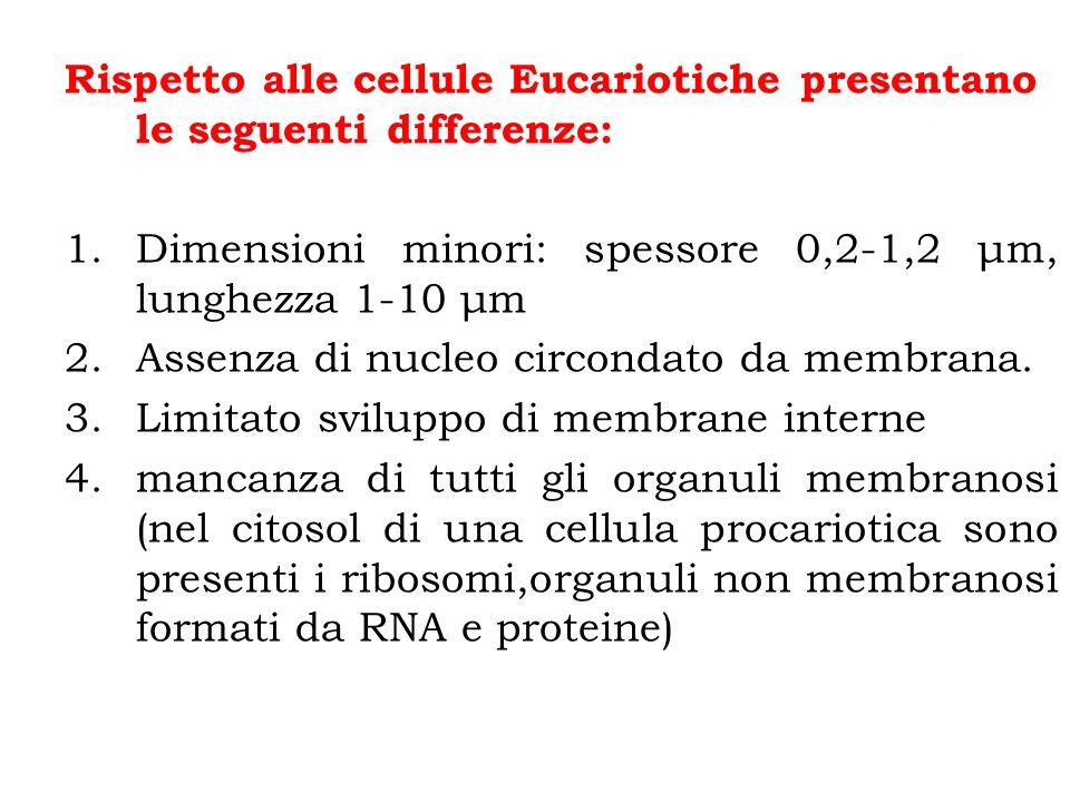 Rispetto alle cellule Eucariotiche presentano le seguenti differenze: 1.Dimensioni minori: spessore 0,2-1,2 μm, lunghezza 1-10 μm 2.Assenza di nucleo circondato da membrana.