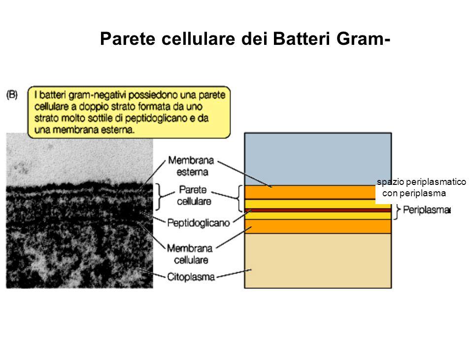 spazio periplasmatico con periplasma Parete cellulare dei Batteri Gram-