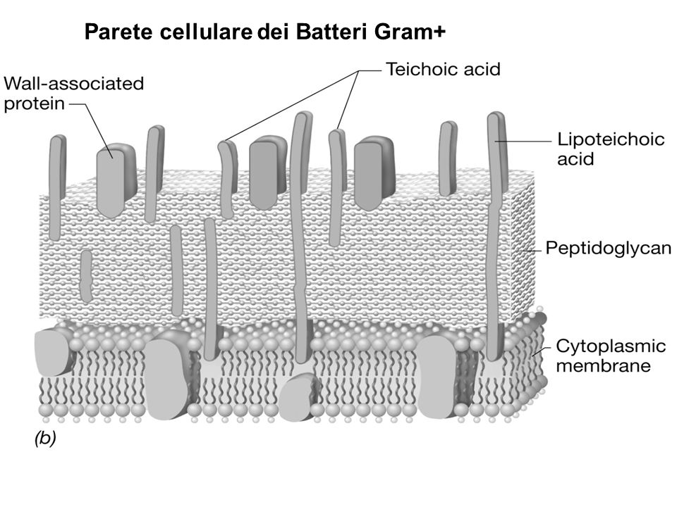Colorazione di Gram e struttura della parete Nella colorazione di Gram un complesso insolubile di cristalvioletto-iodio si forma allinterno della cellula.