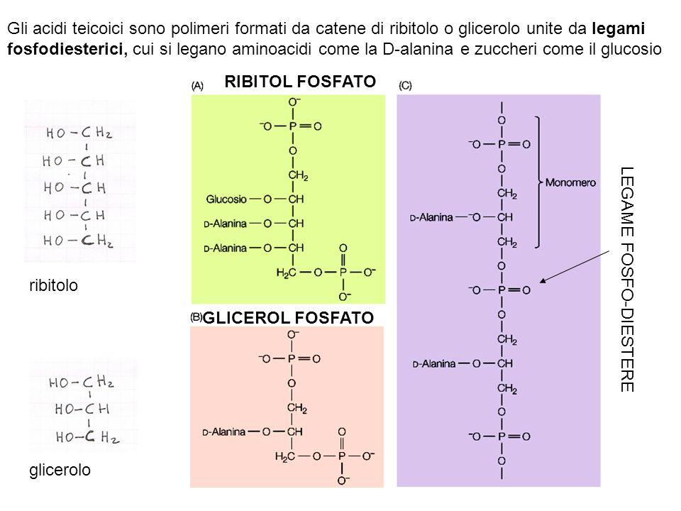 Gli acidi teicoici sono polimeri formati da catene di ribitolo o glicerolo unite da legami fosfodiesterici, cui si legano aminoacidi come la D-alanina e zuccheri come il glucosio RIBITOL FOSFATO GLICEROL FOSFATO LEGAME FOSFO-DIESTERE glicerolo ribitolo