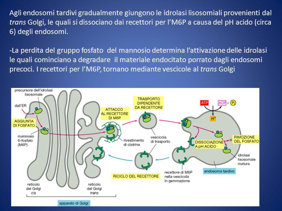 Agli endosomi tardivi gradualmente giungono le idrolasi lisosomiali provenienti dal trans Golgi, le quali si dissociano dai recettori per lM6P a causa