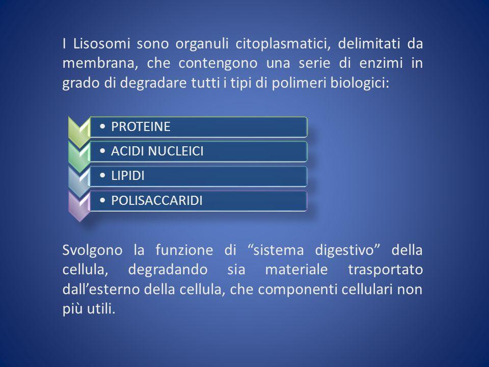 I Lisosomi sono organuli citoplasmatici, delimitati da membrana, che contengono una serie di enzimi in grado di degradare tutti i tipi di polimeri bio