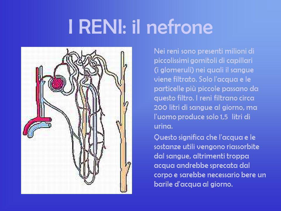 I RENI Il rene serve per purificare il sangue dai rifiuti prodotti dal corpo. I reni sono due organi a forma di fagiolo, lunghi 12 centimetri e si tro