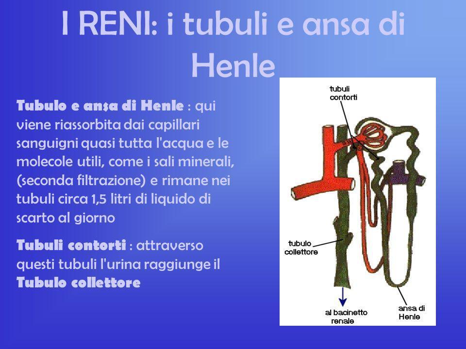 I RENI: il glomerulo Il nefrone è l'unità funzionale del rene. In ogni rene ne sono presenti circa un milione. Glomerulo : gomitolo di capillari arter
