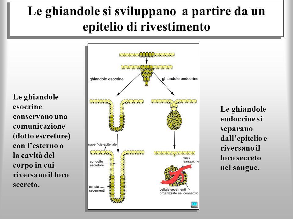 Le ghiandole si sviluppano a partire da un epitelio di rivestimento Le ghiandole esocrine conservano una comunicazione (dotto escretore) con lesterno