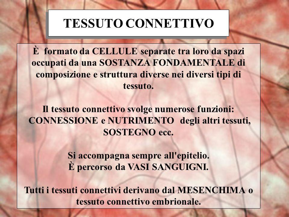 TESSUTO CONNETTIVO È formato da CELLULE separate tra loro da spazi occupati da una SOSTANZA FONDAMENTALE di composizione e struttura diverse nei diver