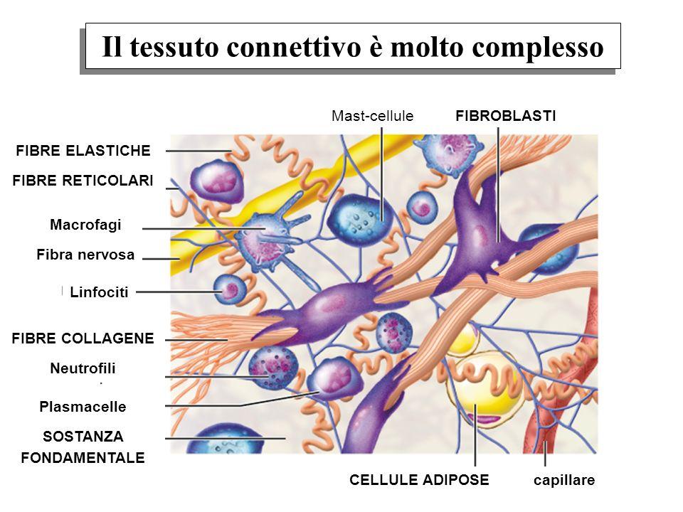Il tessuto connettivo è molto complesso FIBRE ELASTICHE FIBRE RETICOLARI Macrofagi Fibra nervosa Linfociti FIBRE COLLAGENE Neutrofili Plasmacelle SOST