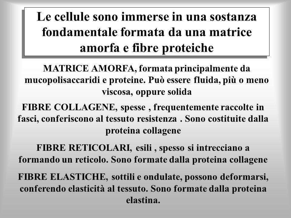Le cellule sono immerse in una sostanza fondamentale formata da una matrice amorfa e fibre proteiche FIBRE COLLAGENE, spesse, frequentemente raccolte