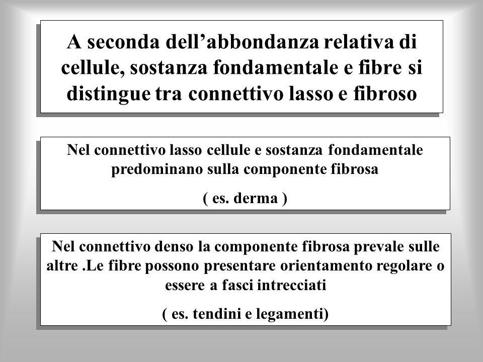 A seconda dellabbondanza relativa di cellule, sostanza fondamentale e fibre si distingue tra connettivo lasso e fibroso Nel connettivo denso la compon