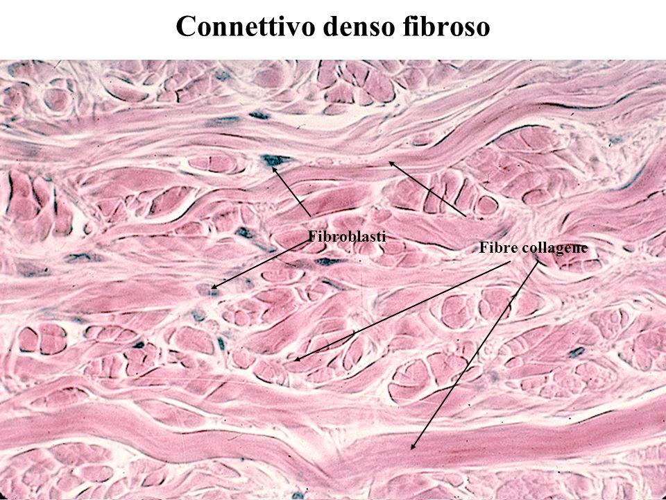Connettivo denso fibroso Fibroblasti Fibre collagene