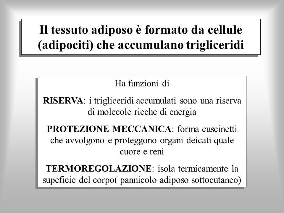 Il tessuto adiposo è formato da cellule (adipociti) che accumulano trigliceridi Ha funzioni di RISERVA: i trigliceridi accumulati sono una riserva di