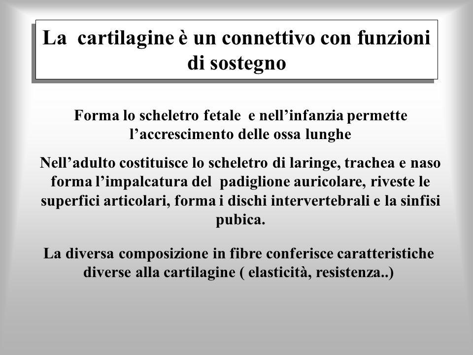 La cartilagine è un connettivo con funzioni di sostegno Forma lo scheletro fetale e nellinfanzia permette laccrescimento delle ossa lunghe Nelladulto