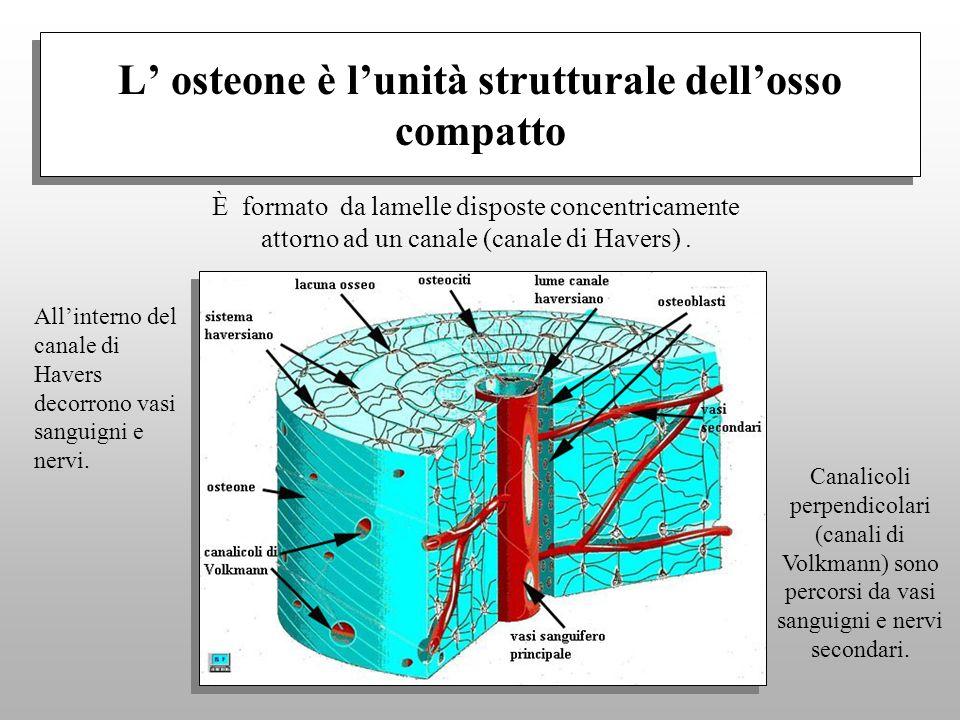 L osteone è lunità strutturale dellosso compatto È formato da lamelle disposte concentricamente attorno ad un canale (canale di Havers). Canalicoli pe