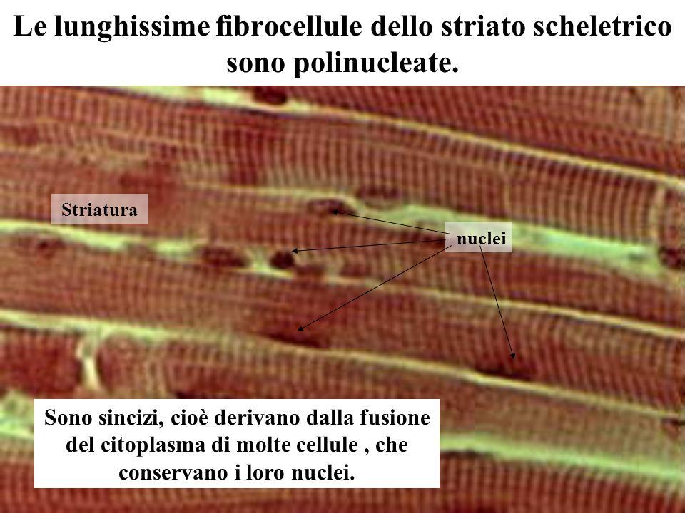 Le lunghissime fibrocellule dello striato scheletrico sono polinucleate. Sono sincizi, cioè derivano dalla fusione del citoplasma di molte cellule, ch