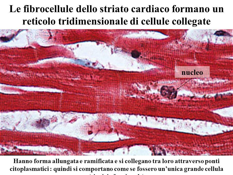 Le fibrocellule dello striato cardiaco formano un reticolo tridimensionale di cellule collegate Hanno forma allungata e ramificata e si collegano tra