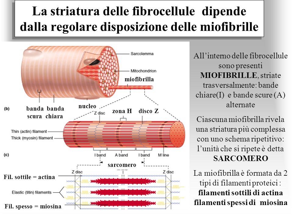 La striatura delle fibrocellule dipende dalla regolare disposizione delle miofibrille Allinterno delle fibrocellule sono presenti MIOFIBRILLE, striate