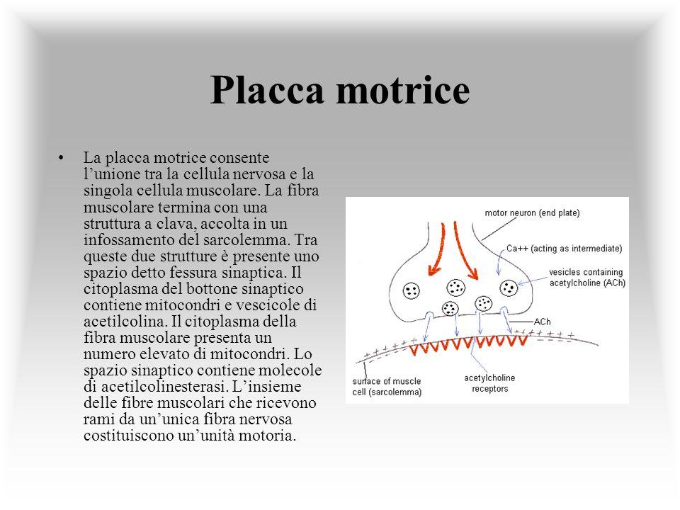 Placca motrice La placca motrice consente lunione tra la cellula nervosa e la singola cellula muscolare. La fibra muscolare termina con una struttura