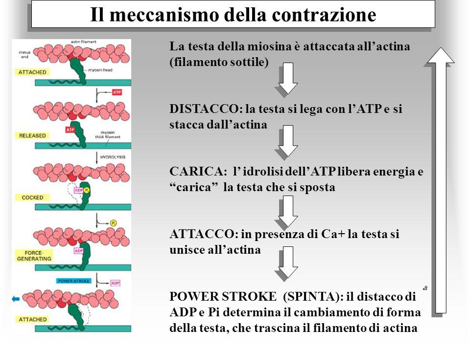 Il meccanismo della contrazione La testa della miosina è attaccata allactina (filamento sottile) DISTACCO: la testa si lega con lATP e si stacca dalla
